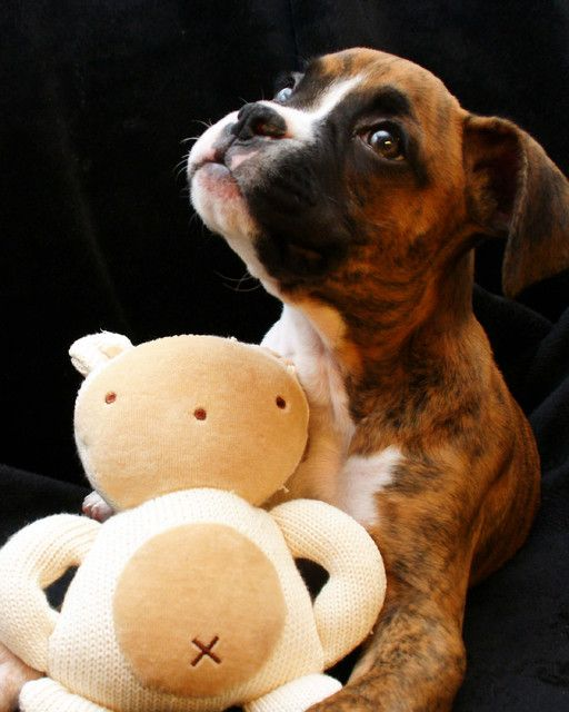 Pictures of Boxer Dog Breed Thank you for my new toy toy. I could kiss that sweet little face