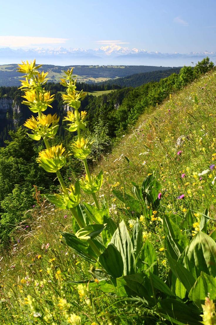 Gentianes sur le Mont-d'Or en Franche-Comté © CRT Franche-Comté #voyage #france #franchecomte
