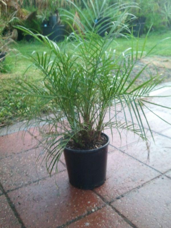 Phoenix acaulis - dwarf date palm