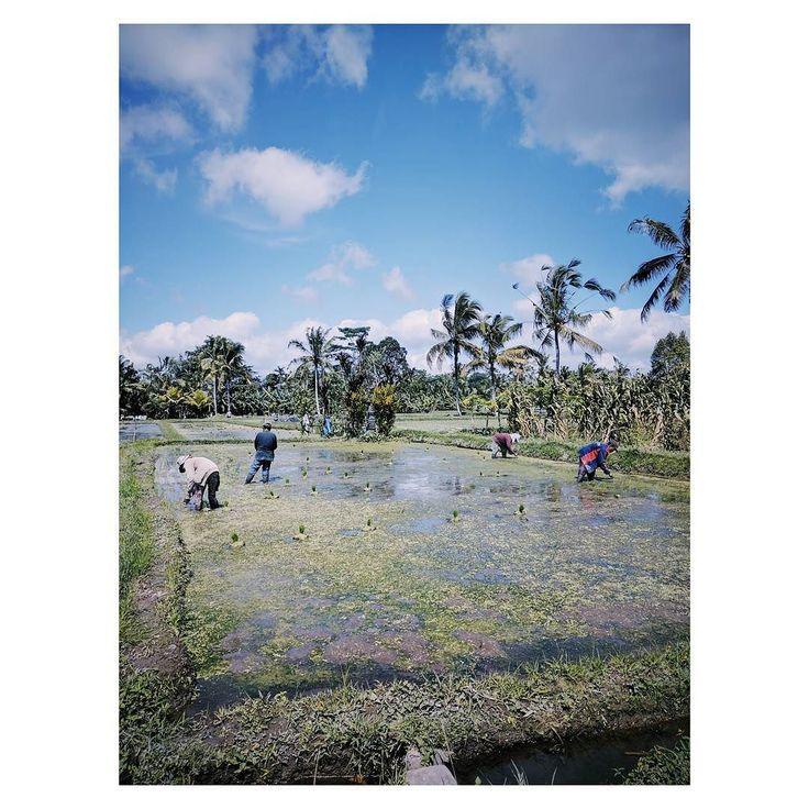 Rice. {Bali 2017}       #balikpapan #film #bali #filmphotography #filmisnotdead #35mm #balikpapanku #rice #indonesia #balikpapancity #photography #foodporn #filmmaking #balilife #food #balikpapantl #samarinda #balikpapanolshop #filmmaker #foodie #baliwedding #analog #filmcamera #analogphotography #instafood #ishootfilm #anakmudabpp #balikpapanonlineshop #balidaily #balibible