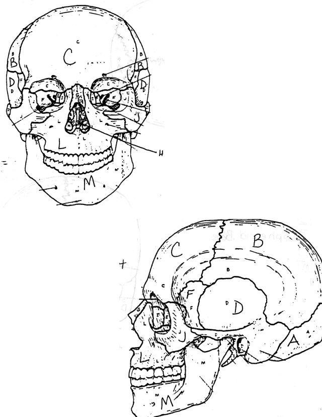 Http Www2 Connectseward Org Shs Anatomy Anatomy1 Skullfolder Skull Gif Anatomy Coloring Book Skull Anatomy Anatomy Bones