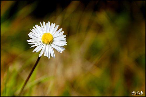 Daisy   Flickr – Condivisione di foto!