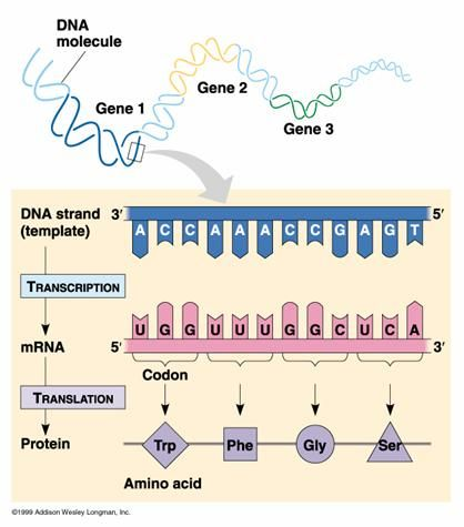 DNA - RNA- Protein: will come in handy during my regular presentations to lay folks!