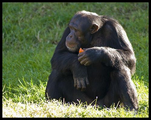 Scimmie in crisi di mezza età  Non è colpa del mutuo, del divorzio o dello stress sul lavoro. Eppure, proprio come gli esseri umani, la loro felicità e il loro benessere calano nel mezzo della loro vita. Lo studio su Pnas  Leggi l'articolo su Galileo (http://www.galileonet.it/articles/50ab5363a5717a39de00001b)  Credits immagine: Crouchy69/Flickr (http://www.flickr.com/photos/crouchy69/)