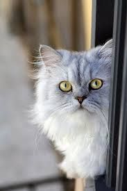 Love to cuddle soft, fuzzy kittens? There are fluffy cat breeds that stay that way into adulthood!You know when you see photos of fuzzy kittens looking so soft
