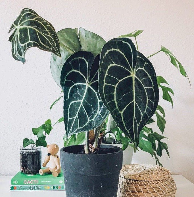 Anthurium Clarinervium Extremely Rare Unique House Plant Araceae In 2020 Plants House Plants Anthurium