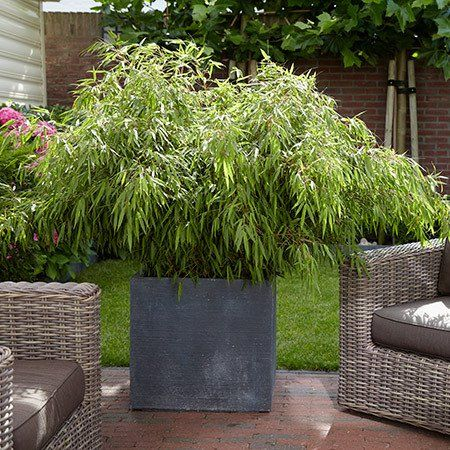The Perfect Bamboo for Small Areas - Bamboo is rapidly gaining popularity in the landscaping world because of its incredibly fast growth and unique form. The new