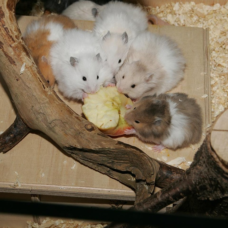 Syrian Hamster Pups, long-haired