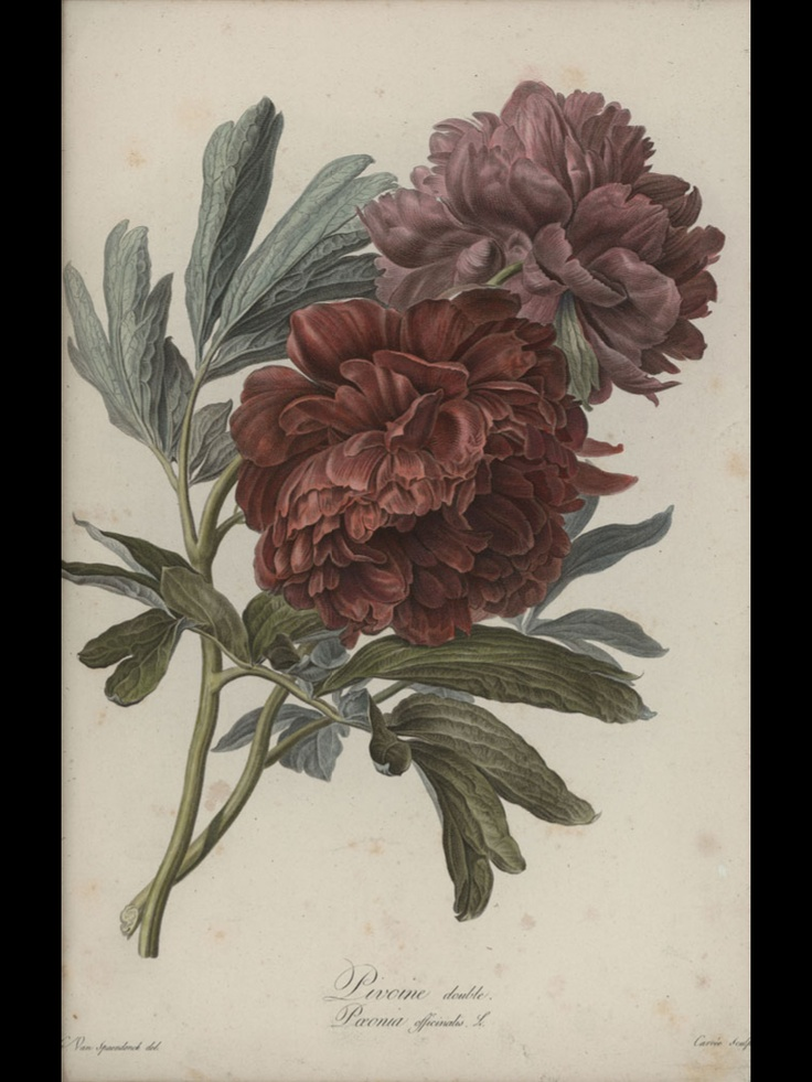 18th century flower illustration