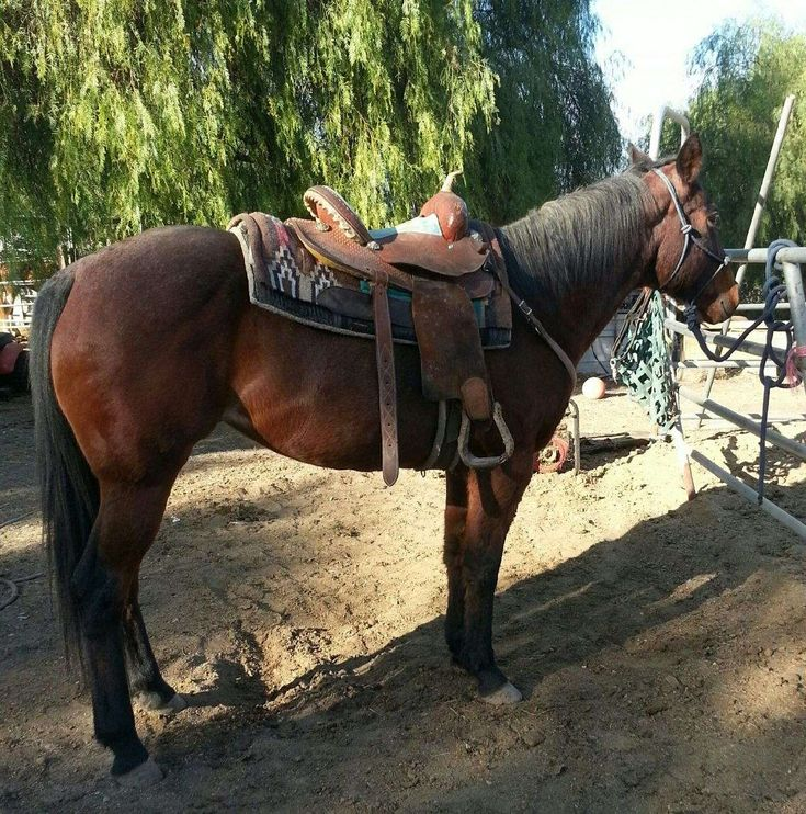 13 year old bay roan quarter horse mare. About 15.1 hands. Easy push button type horse. Sweet mare. Gets along with other horses. Doesn't mind barking dogs. Walks along busy streets no problem. Not spooky. Stands great tied up. Been in the ocean. No health issues. Barefoot. Recently wormed.