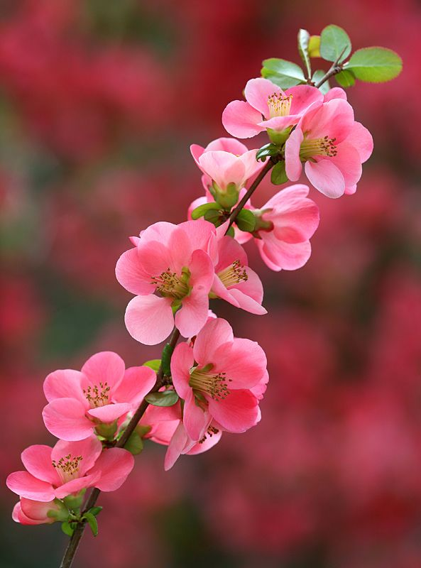 Chaenomeles: Photo by Photographer Sandor Bernath - photo.net