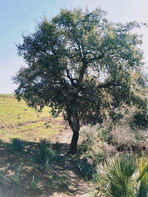 شجرة فلين In 2021 Tree Plants