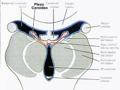 Hamer alemão Nova Medicina endoderme NMG 5LB Leis órgãos biológicos Cérebro coróide CSF plexo líquido cefalorraquidiano