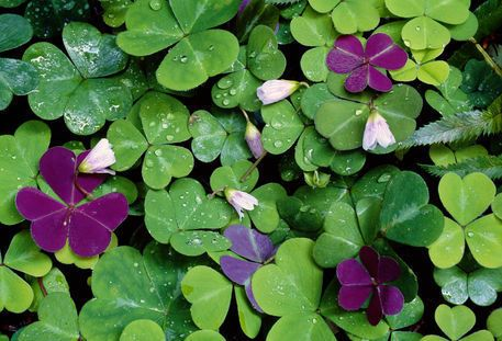 Wood Sorrel! The Cherokee ate wood sorrel to cure sores in their mouths and the Kiowa Indians chewed on the plant to keep from being thirsty. The root can be boiled and eaten and they taste just like a potato.