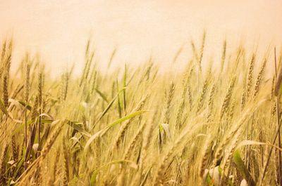 Wild Wheat Art Print by Robin Epstein of Around the Island Photography