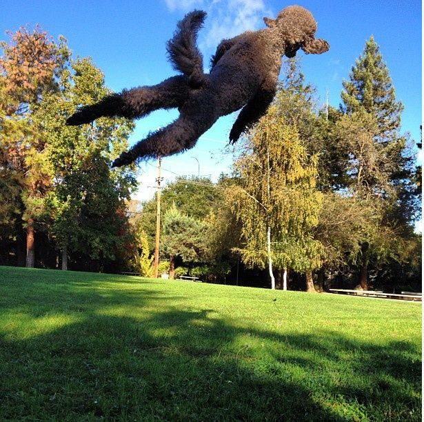 yes, Standard Poodles are amazing athletes.