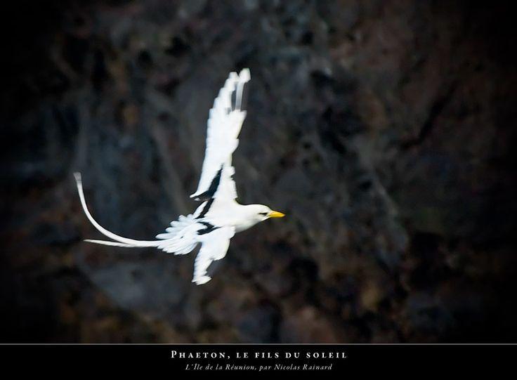 Le paille-en-queue (phaeton à brins blancs,  © Nicolas Rainard