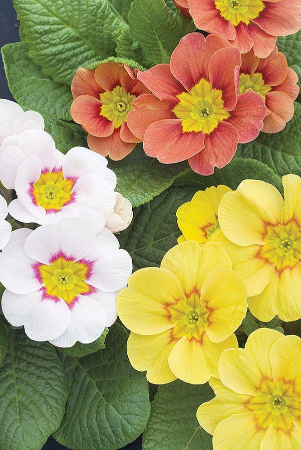 Pierwsze wiosenne kwiaty. Fot. Flora Press, Shutterstock #wiosna #kwiaty #ogród #żółte #białe #morelowe #biały #żółty #morelowy #biały #kolorowe #kwiatki #zieleń #rośliny #ogródek #wiosenny #klimat #lato #spring #white #orange #yellow #pink