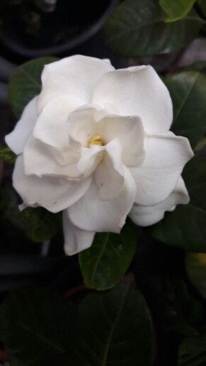 Gardenia.....