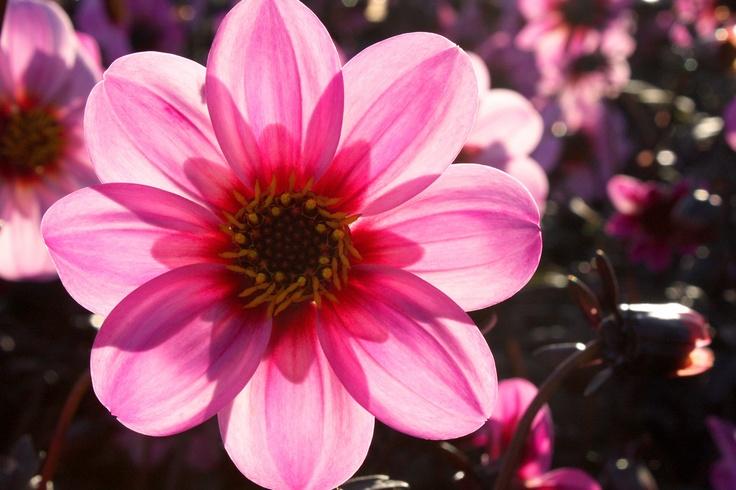 Dahlia flower of Mexico Tattoos Pinterest Flower