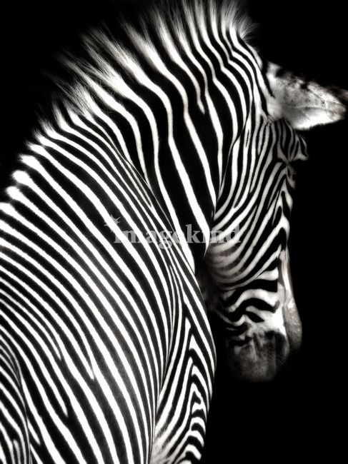 Black and white zebra with black background by elle arden