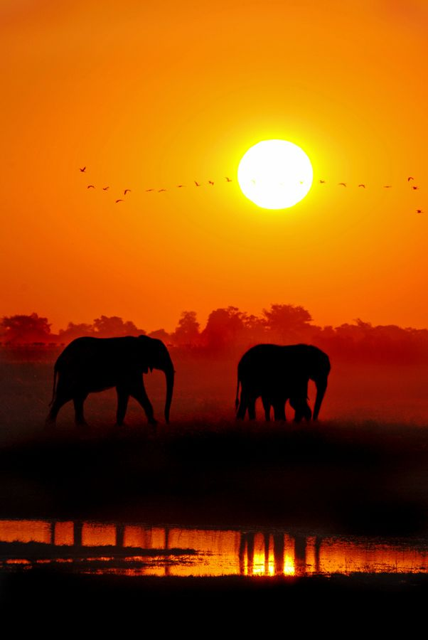 Elephants At Sunset - Chobe National Park, Botswana, Africa