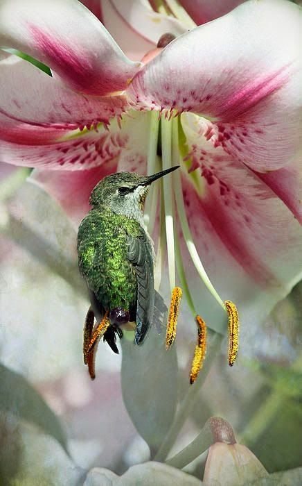 Shows how light the hummingbird is, to be sitting on one of the pistals like that