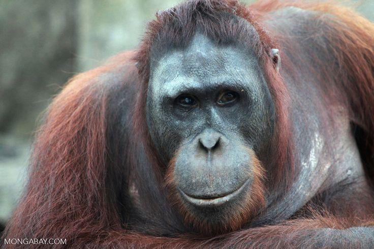 Large Orangutan in Central Kalimantan