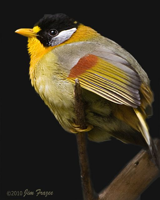 Silver-eared Mesia  (by SARhounds)