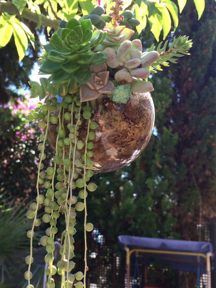 Terrari de vidre amb cràssula i molsa. Succulents terrarium with moss.