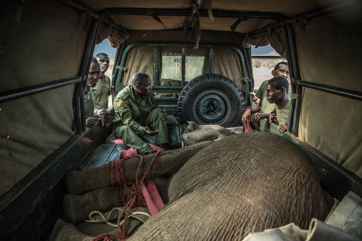Pictures of an elephant sanctuary in Africa A sedated 15-month-old Sosian is loaded into a specially adapted vehicle for transport to the sanctuary. He was brought in when his mother was found shot and mortally wounded. The Reteti team makes sure to take in only orphans, not temporarily abandoned youngsters.