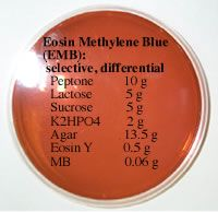 EMB Agar: is a selective AND a differential medium.  The selective components are the eosin and methylene blue dyes that inhibit the growth of Gram-positive bacteria and permit the growth of Gram-negative enteric rods.  The differential component of the medium is lactose, which is a sugar that some organisms can ferment as an energy source.  Organisms that ferment lactose produce dark purple (sometimes shiny) colonies and those that cannot, produce white or very light pink colonies.