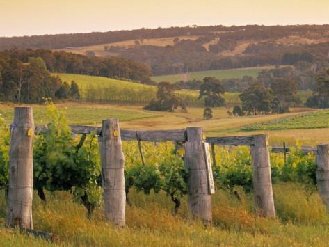Vineyard, Margaret River, Western Australia, Australia Photographic Print