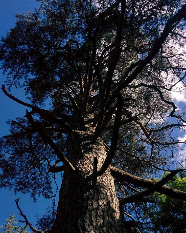 З00-летнее дерево:) #зеленыедолгожители