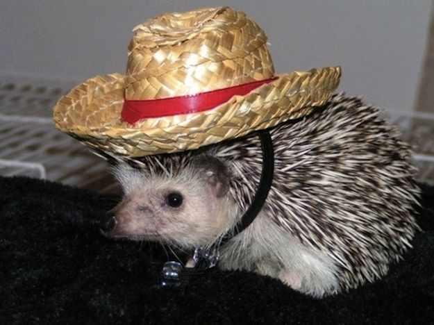 Cowboy* | How To Dress A Hedgehog For Halloween
