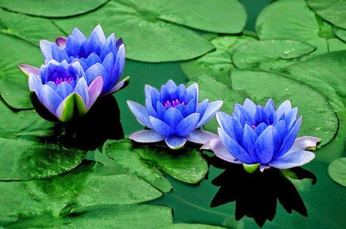 Abundancia, Amor y Plenitud : LA FLOR DE LOTO, SIGNIFICADO