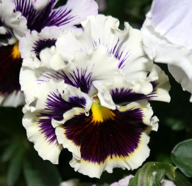 I must add Ruffled pansies to my must plant list!!!