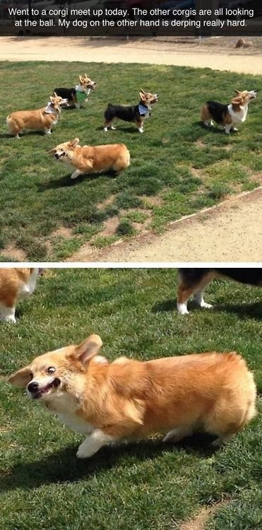 Funny Corgi cute animals dogs adorable dog puppy animal pets lol corgi humor funny pictures funny animals funny pets funny dogs corgis