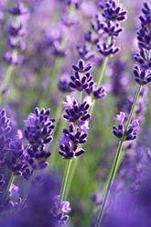 Lavendel schneiden: Wann ist der beste Zeitpunkt zum Lavendelschnitt?