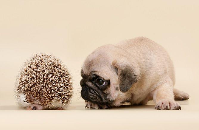 Happy Birthday Canada Cute Pugs Cute Pug Puppies Baby Pugs