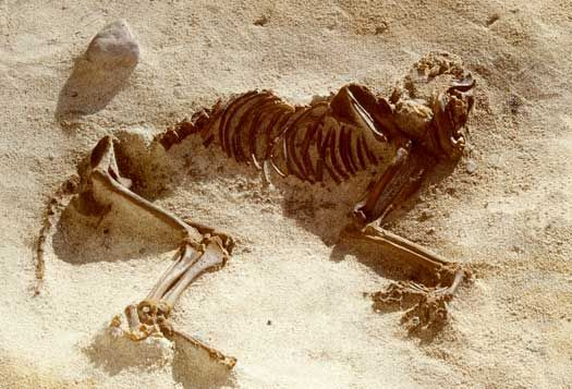 This dog burial was found on the Gøngehusvej settlement in Vedbæk, northern Zealand. The dog was buried around 5000 BC.