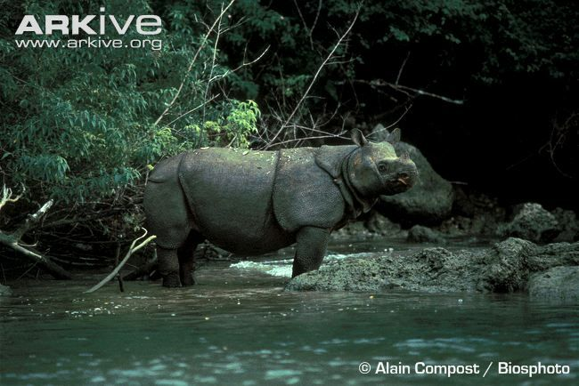 Javan rhinoceros in shallows of river