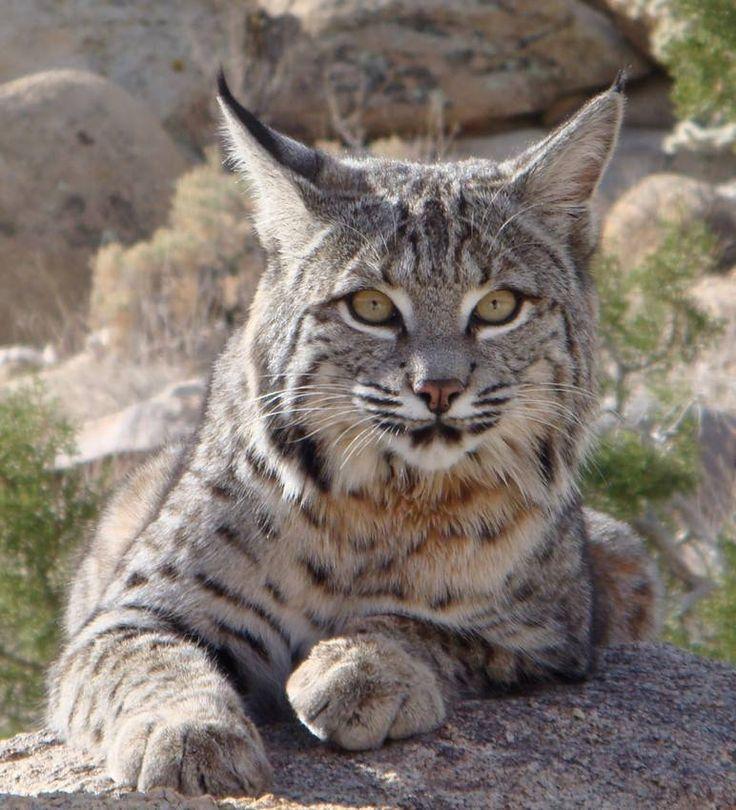 Beautiful bobcat. | Animals, Pets Etc | Pinterest | Beautiful