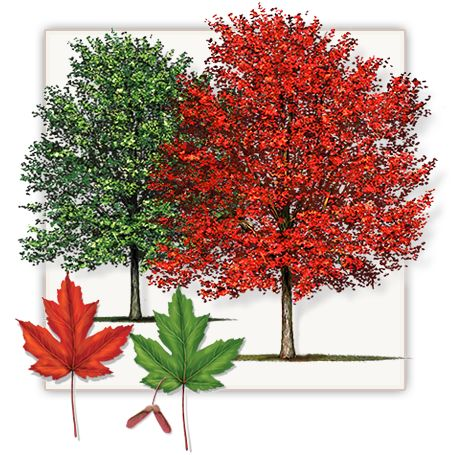 Autumn Blaze Maple Tree | Mature Height: 35' - 40' | Fall Color: Deep and Bright Red | Growth Rate: 2.5' - 3' Per Year  #trees #landscaping #gardening