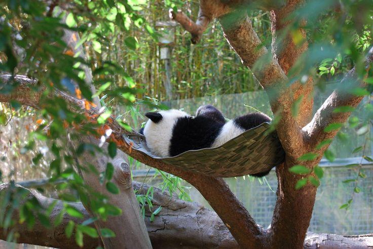 68 Best Images About Panda On Pinterest Giant Pandas
