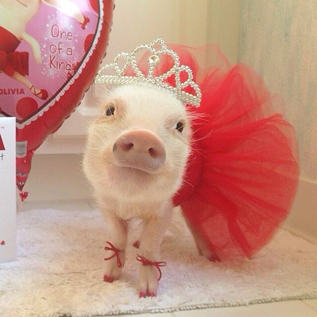 Mini pig in red dress outfit, tutu skirt, tiara, bows, crown