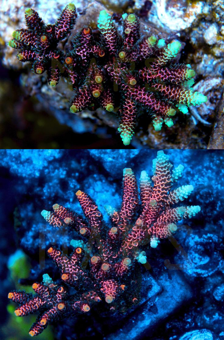 Coral and Live Rock 177797: Mars Rainbow Mille Acropora Millepora Sps Coral -> BUY IT NOW ONLY: $159.99 on eBay!