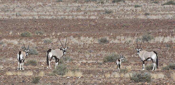 Namibia – Explore Sossusvlei, Etosha, Damaraland, Skeleton Coast | Wilderness Safaris a herd of gemsbok amidst the rocky landscape