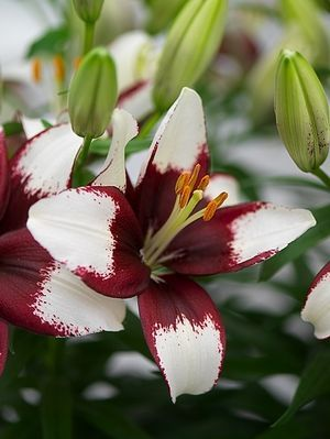Viva new Burgundy and white asiatic lily | Lilium asiatic 'Tiny Hope'