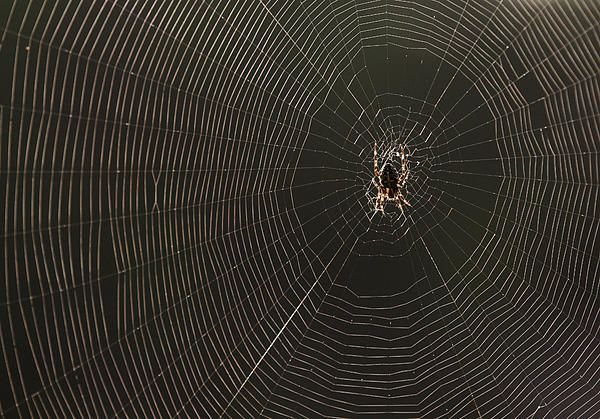 Sider in spiderweb - prints for sale
